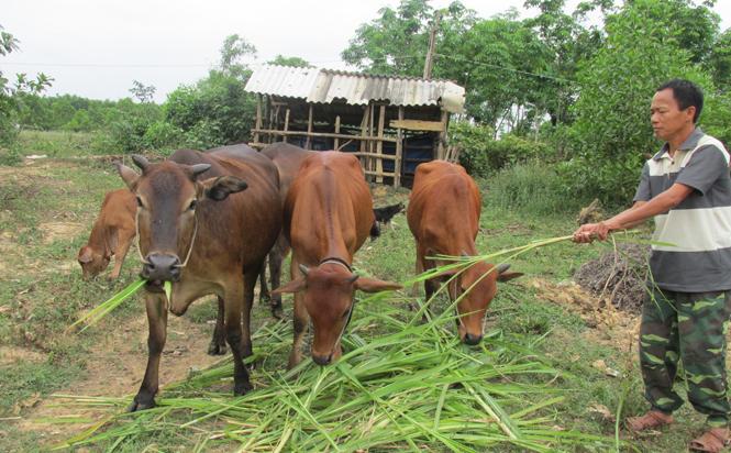 Bò lai Sind-hướng đi thích hợp cho người chăn nuôi