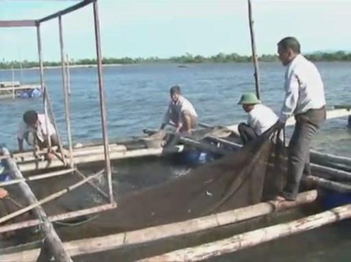 Nuôi cá chẽm trong lồng – Hướng nuôi trồng thủy sản hiệu quả